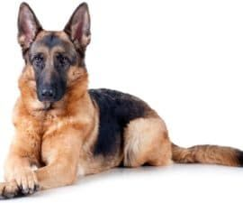 GermanShepherd1